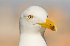 Cabeça das gaivota Foto de Stock Royalty Free