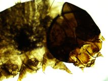 Cabeça das larvas 100x da traça de bicho-da-seda e algum corpo imagem de stock royalty free