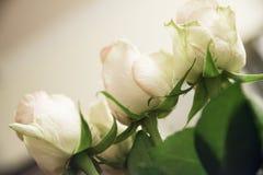 Cabeça das rosas Imagens de Stock Royalty Free