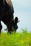 Cabeça das vacas Imagens de Stock Royalty Free