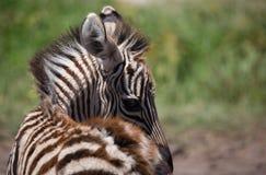 Cabeça das zebras imagem de stock
