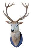 Cabeça de 13 cervos do ponto Fotos de Stock
