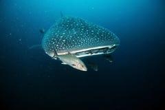Cabeça de aproximação do tubarão de baleia Fotos de Stock Royalty Free