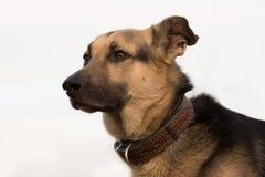a cabeça de cão Fotos de Stock Royalty Free