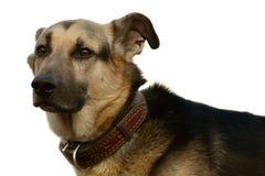 a cabeça de cão Imagem de Stock Royalty Free