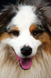 Cabeça de cão Imagem de Stock Royalty Free