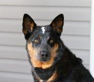 Cabeça de cão azul de Heeler Imagem de Stock Royalty Free