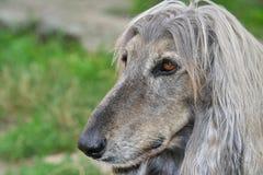 Cabeça de cão do galgo afegão Imagens de Stock Royalty Free