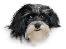 Cabeça de cão havanese de sorriso do filhote de cachorro Imagens de Stock Royalty Free