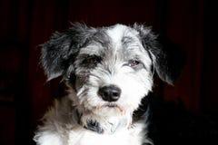 Cabeça de cão preto e branco do retrato imagens de stock royalty free