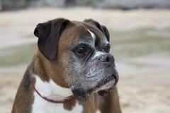 Cabeça de cão rajado do pugilista que olha direita imagens de stock