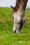A cabeça de cavalo Foto de Stock Royalty Free