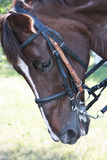 Cabeça de cavalo Foto de Stock