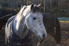 Cabeça de cavalo 7 Fotos de Stock Royalty Free