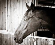 Cabeça de cavalo bonita Imagem de Stock
