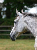 Cabeça de cavalo bonita Fotos de Stock Royalty Free