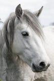 Cabeça de cavalo branco Imagem de Stock Royalty Free
