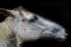 Cabeça de cavalo branco no preto Fotos de Stock