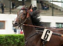 Cabeça de cavalo com tresses imagem de stock