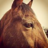 Cabeça de cavalo da baía imagem de stock royalty free