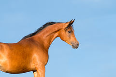 Cabeça de cavalo da baía no fundo azul Imagem de Stock
