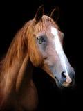 Cabeça de cavalo da castanha foto de stock royalty free