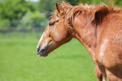 Cabeça de cavalo da castanha e perfil de trabalho do ombro no campo Fotografia de Stock Royalty Free