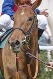 Cabeça de cavalo da raça pronto para ser executado Área do prado Fotografia de Stock