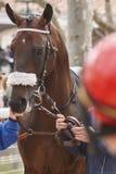 Cabeça de cavalo da raça pronto para ser executado Área do prado Imagens de Stock