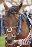 Cabeça de cavalo da raça pronto para ser executado Área do prado Foto de Stock