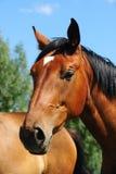 Cabeça de cavalo de Brown Fotos de Stock