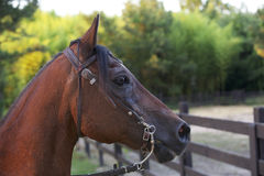 Cabeça de cavalo de Brown. imagem de stock royalty free