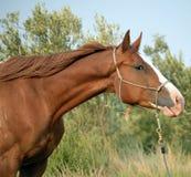 Cabeça de cavalo do Appaloosa Fotografia de Stock
