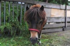 Cabeça de cavalo do marrom do retrato do close up O cavalo está em um estábulo na exploração agrícola Fotografia de Stock