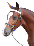 Cabeça de cavalo isolada do louro Fotos de Stock Royalty Free