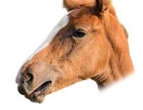 Cabeça de cavalo isolada no branco Imagem de Stock