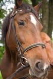 Cabeça de cavalo no chicote de fios Foto de Stock
