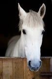Cabeça de cavalo nova branca Fotografia de Stock Royalty Free