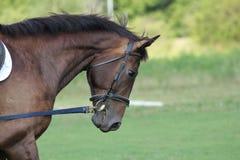 Cabeça de cavalo nupcial imagens de stock royalty free