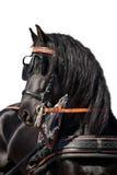 Cabeça de cavalo preta do frisão isolada Fotos de Stock Royalty Free