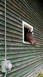 Cabeça de cavalo que cola fora do celeiro Fotografia de Stock Royalty Free