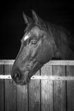 Cabeça de cavalo que olha fora do seu estável, preto e branco foto de stock royalty free