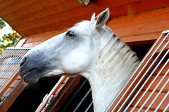 Cabeça de cavalo velha de Kladruby Foto de Stock Royalty Free