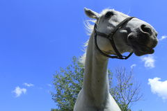 Cabeça de cavalos brancos imagem de stock