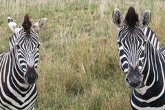 A cabeça de dois listrou as zebras, fotografadas no porto Lympne Safari Park, Ashford, Kent Reino Unido fotos de stock