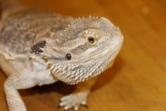 Cabeça de Dragon Lizard farpado foto de stock