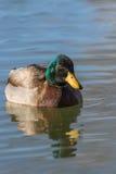 Cabeça de Drake do pato selvagem sobre Foto de Stock