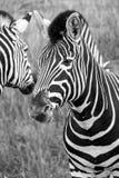 Cabeça de duas zebras das planícies, fotografada no monochrome no porto Lympne Safari Park, Ashford, Kent Reino Unido imagens de stock royalty free