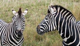 Cabeça de duas zebras das planícies, fotografada no porto Lympne Safari Park, Ashford, Kent Reino Unido foto de stock