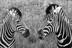 Cabeça de duas zebras, fotografada no monochrome no porto Lympne Safari Park, Ashford, Kent Reino Unido fotos de stock royalty free